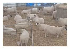 Lambing Live camera